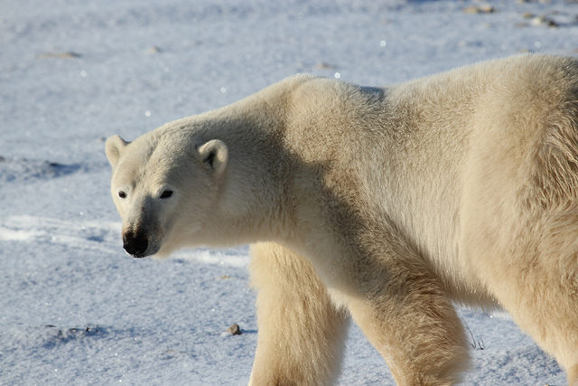 Polar_Bear_-_Alaska by rubyblossom.